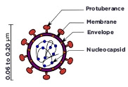 Diagram of a coronavirus